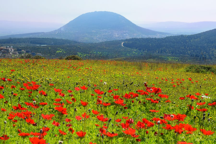Poppies in Galilee against the background biblical Mount Tabor